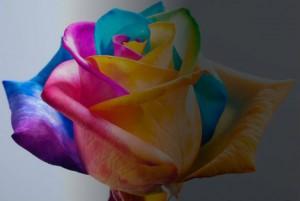 50shades rose